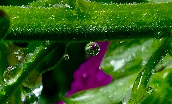 I live in Oregon.  It rains.  In July.  And all the world is gloriously brighten the sunshine following a downpour.  The foxgloves were wearing diamonds which, on inspection, were merely raindrops which on closer inspection held the world.