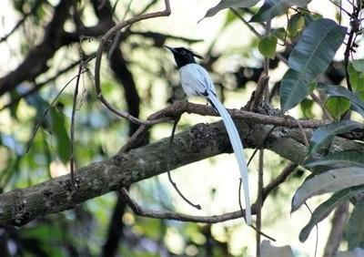 image bird of paradise fly catcher