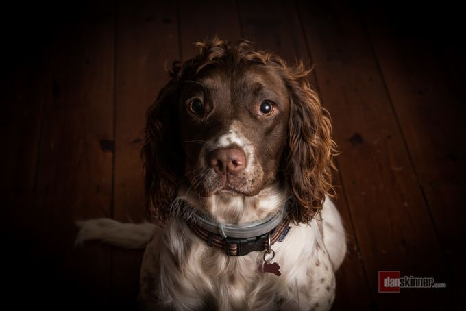 Sad spaniel by fatfoxphotography - The Brown Color Photo Contest