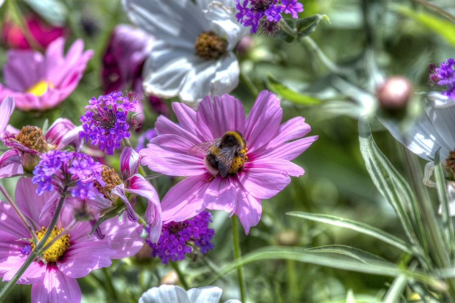 taken in greenwich gardens with the honey bee collecting his nectar