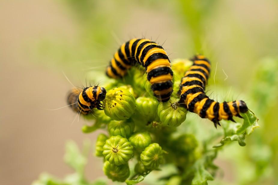 A trio of toxic cinnabar moth caterpillars munching on toxic ragwort weeds.