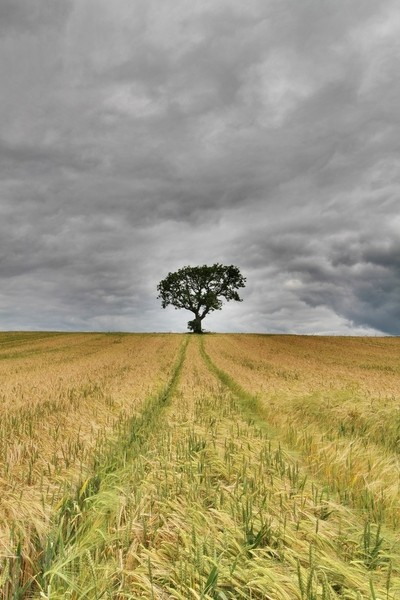 The Barley Field  Tree