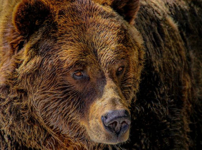 grizzly eyes by jessrelkoff - The Brown Color Photo Contest