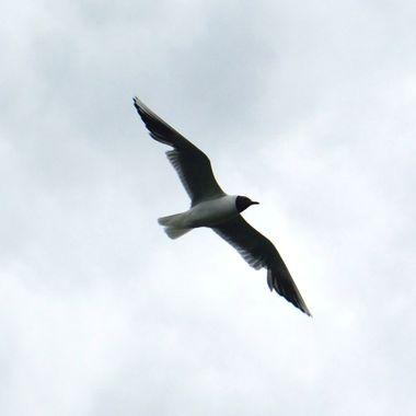 Black Headed Gull in flight.