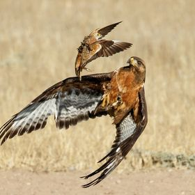 This tawny eagle was hunting namaqua sand grouse at 13th waterhole on the mata-mata road in the Kgalagadi, he had failed a couple of times but th...