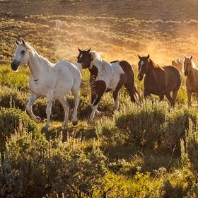 The horses had been turned out of the corral, it was early morning and the sun was just coming up, turning the dust from their galloping hooves i...