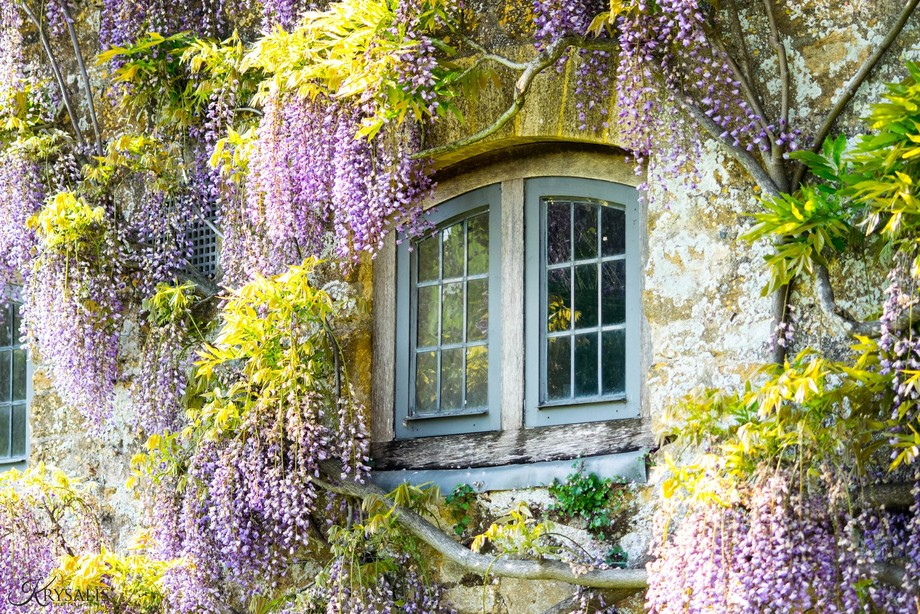 A beautiful National Trust Property in Somerset, Montecute House, and its beautiful Wisteria
