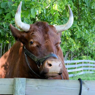 ox @ Hale Farm