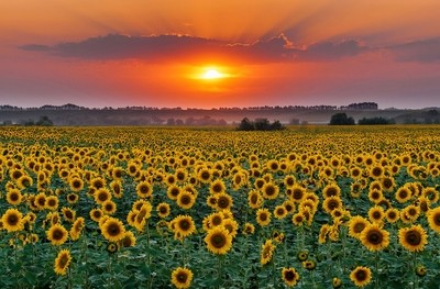 Kansas Sunflower Harvest