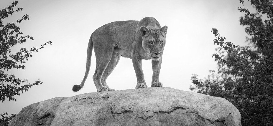 Lioness on a rock at the Dallas Zoo
