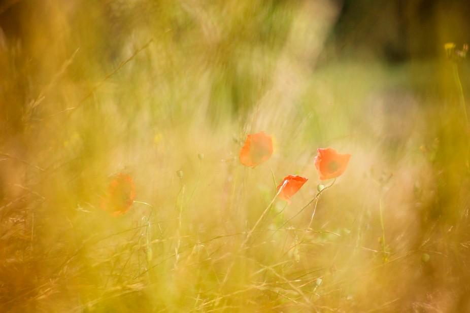 Poppy roses in the cornfields
