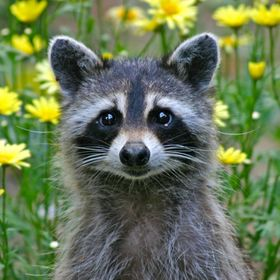 Raccoon_9512