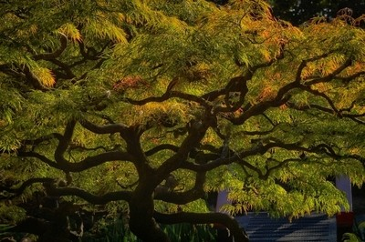 My Fave Tree Backlit in July