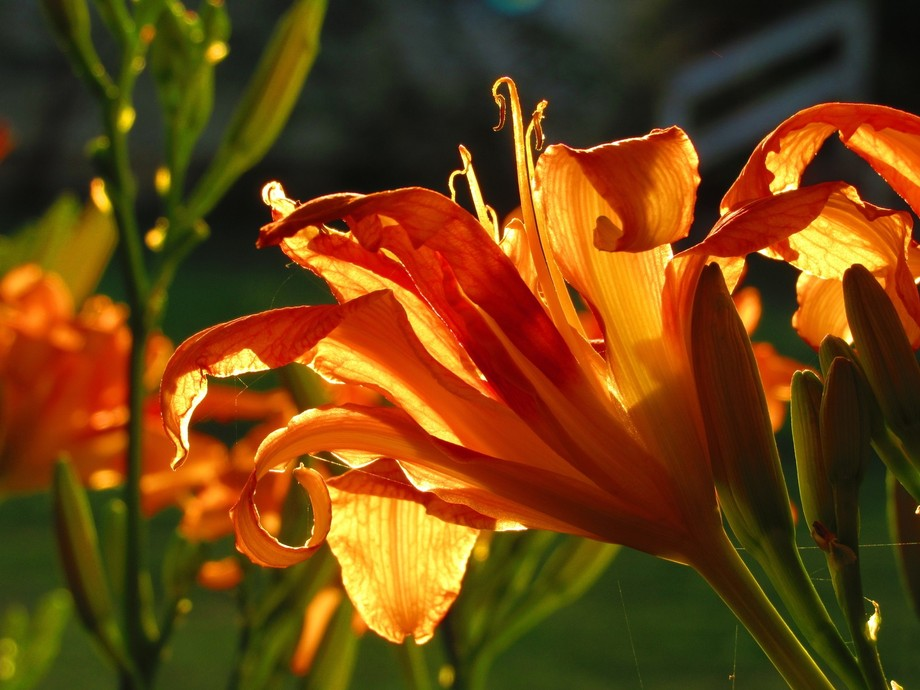 Day Lily at sunset