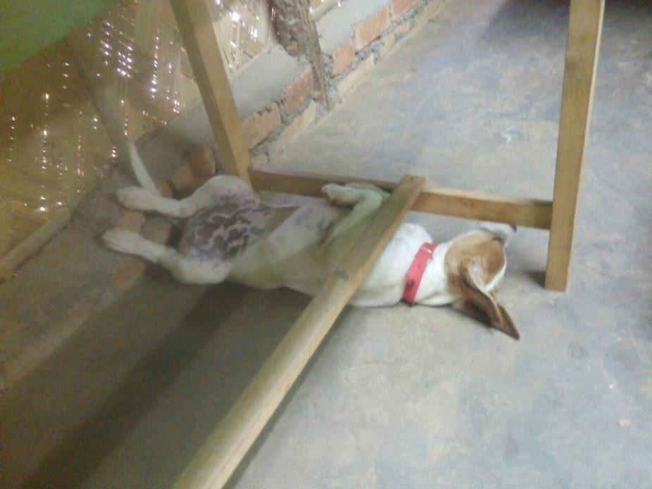 We have this doggy at our constructional work site.No works for him,he just maintain good diets a...