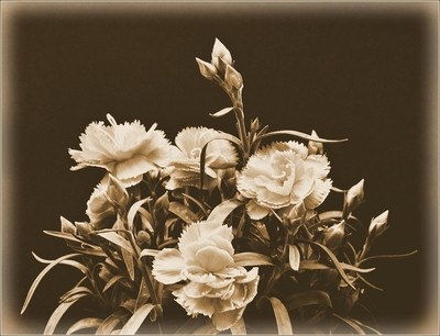 Pinks ( Miniature Carnations) In a Deep Sepia