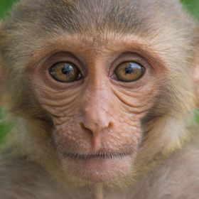 Monkeys are funny and very intelligent animals. Monkeys when you see them as usually happy, worried, cute and funny.    The Rhesus Monkey is one ...