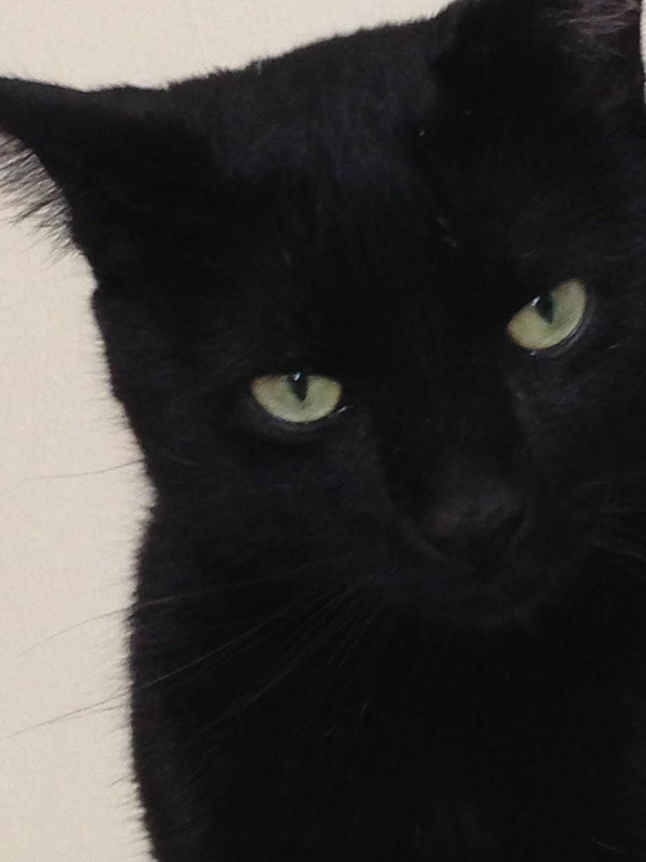My cat Indigo, loves to be close to me when I'm home, I woke up to this face demanding f...