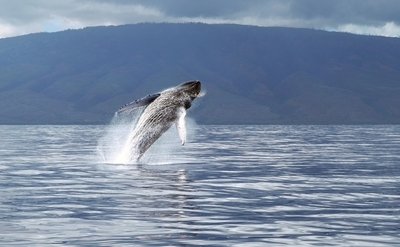 Whale breach in Maui