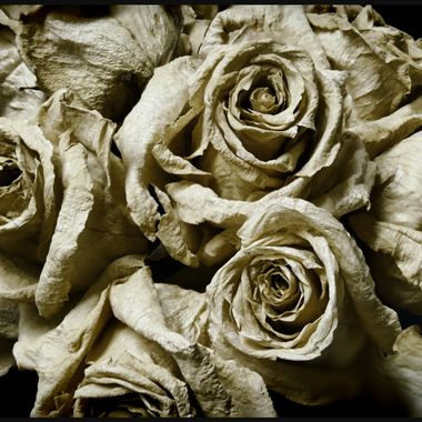 White Roses Dried