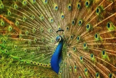 Smith's Peacock