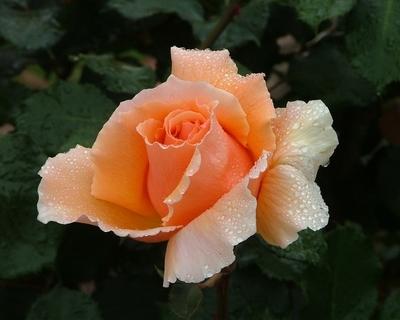 Dew_on_Rose