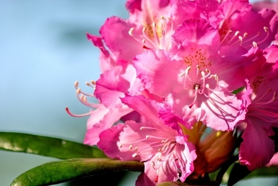Power of pink from rhododendron  very close to you