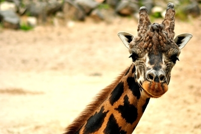 Smile from the giraffe always makes your day