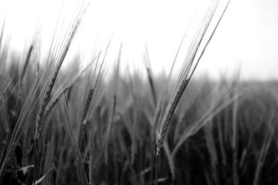 Wheat in the Fields