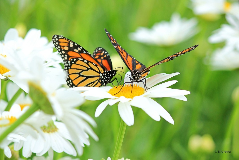 Taken at Krause Berry farm, Langley, BC, Canada.  Annual release of Monarch butterflies.
