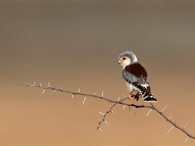 African Pygmy Falcon (Polihierax semitorquatus) by TrekLightly - Shallow Depth Of Field Photo Contest
