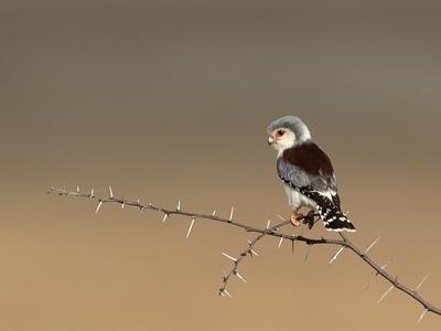 African Pygmy Falcon (Polihierax semitorquatus)