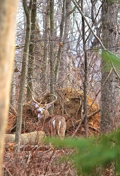 Buck in our woods # 7