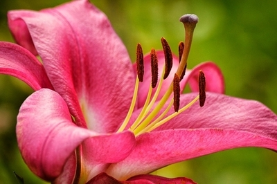 Bright Pink Lily