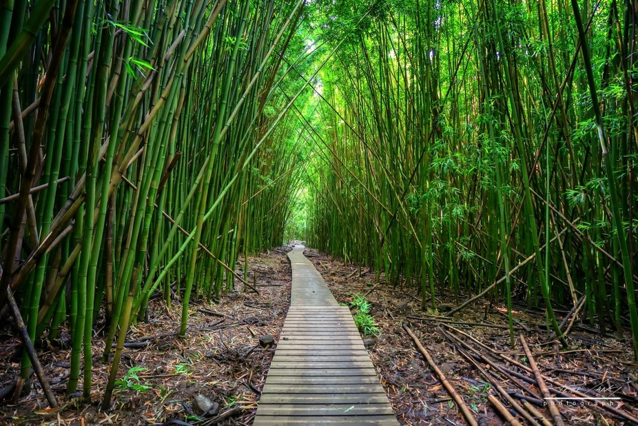 Bamboo forest in a trail at Haleakala National Park.