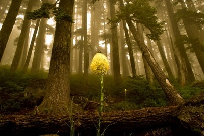 Bear Grass In The Misty Forest