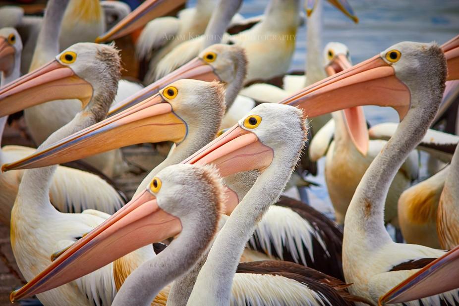 Pelicans, Central Coast, NSW, Australia