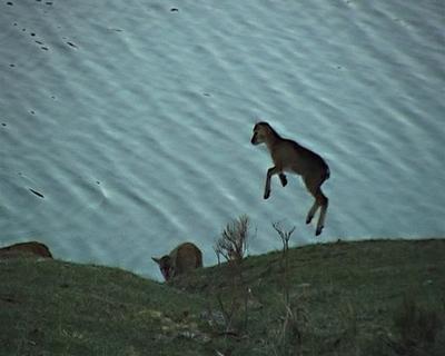 baby mouflon jumping all around in le rêve du chasseur musique de Ramon Gual.