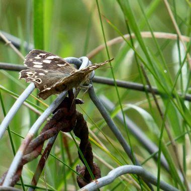 An odd Butterfly perch