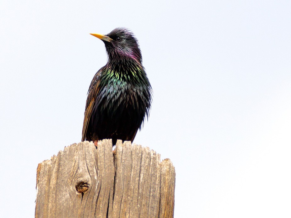 A stunning male European Starling singing on top of a telephone pole in front of my house at dusk...