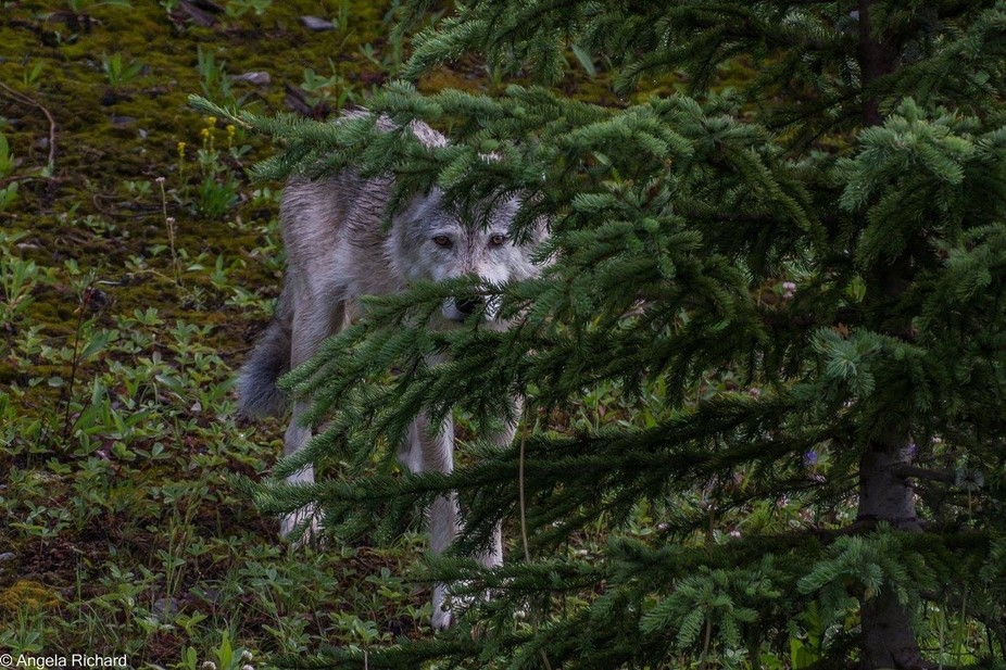 Hiding White Wolf