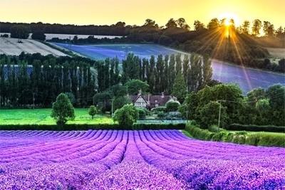Castle Farm Lavender Fields Shoreham