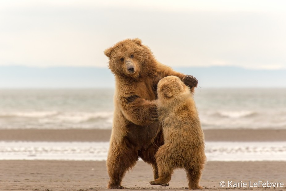 "This mom and cub began to ""Waltz"" after perusing for clams along the shore of L..."