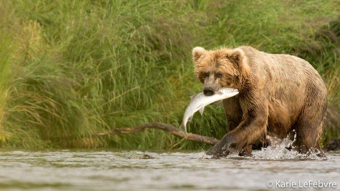 Fishing Bear by KarieLeFebvre