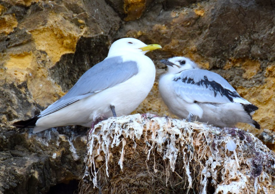 Kittiwake with chick 1