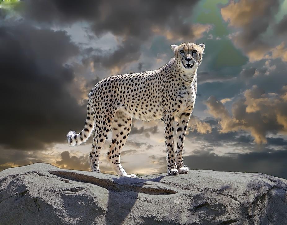 Cheetah Sunrise