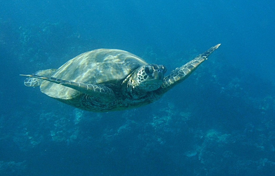 We love having close encounters with turtles while snorkeling. You are not supposed to approach t...