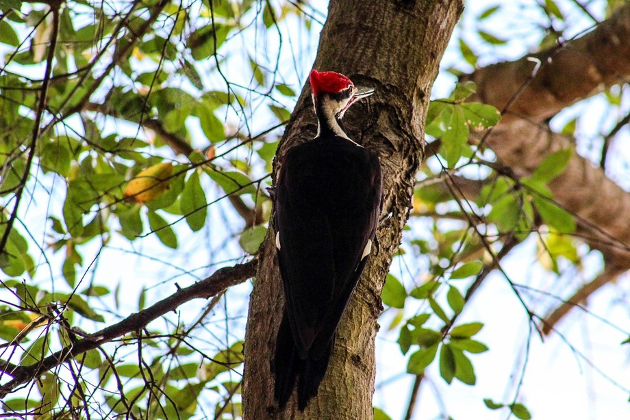 Pileated woodpecker that we saw in a vacant lot in North Central Florida