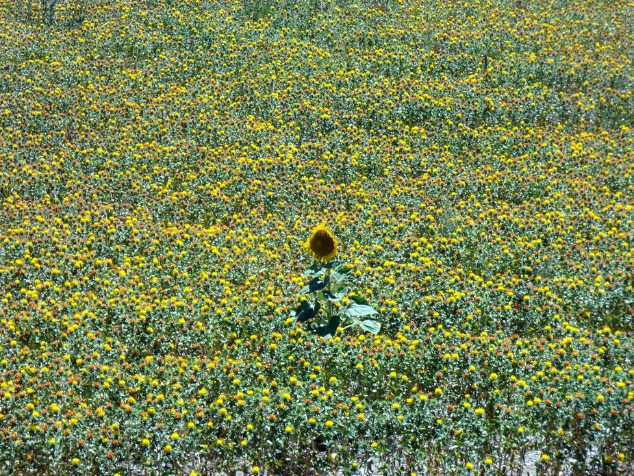 Sunflower among the safflowers...