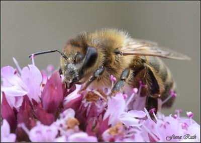 Macro Bee in all it's detail!